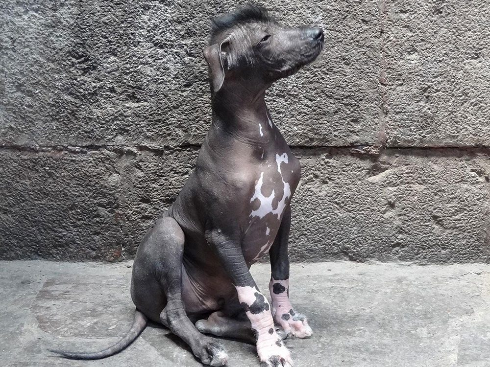 Le chien nu du Pérou est un chien bizarre.