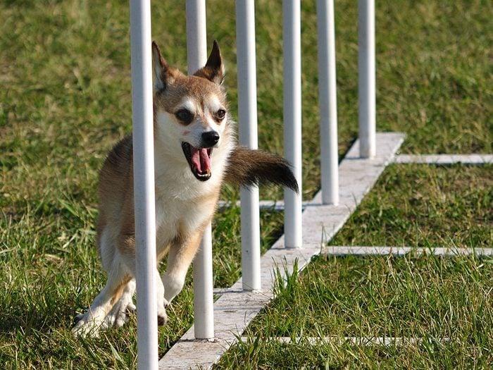 Le Lundehund norvégien: un chien bizarre muni de six orteils.