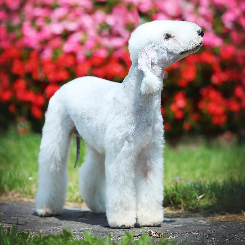 Race de chien bizarre : le Bedlington Terrier