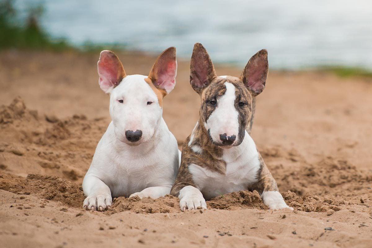 Race de chien bizarre : le Bull-Terrier