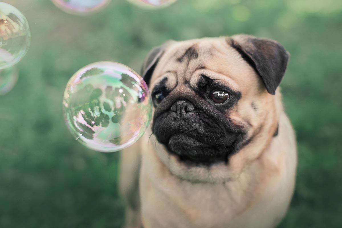 Race de chien bizarre : le Carlin (ou Pug)