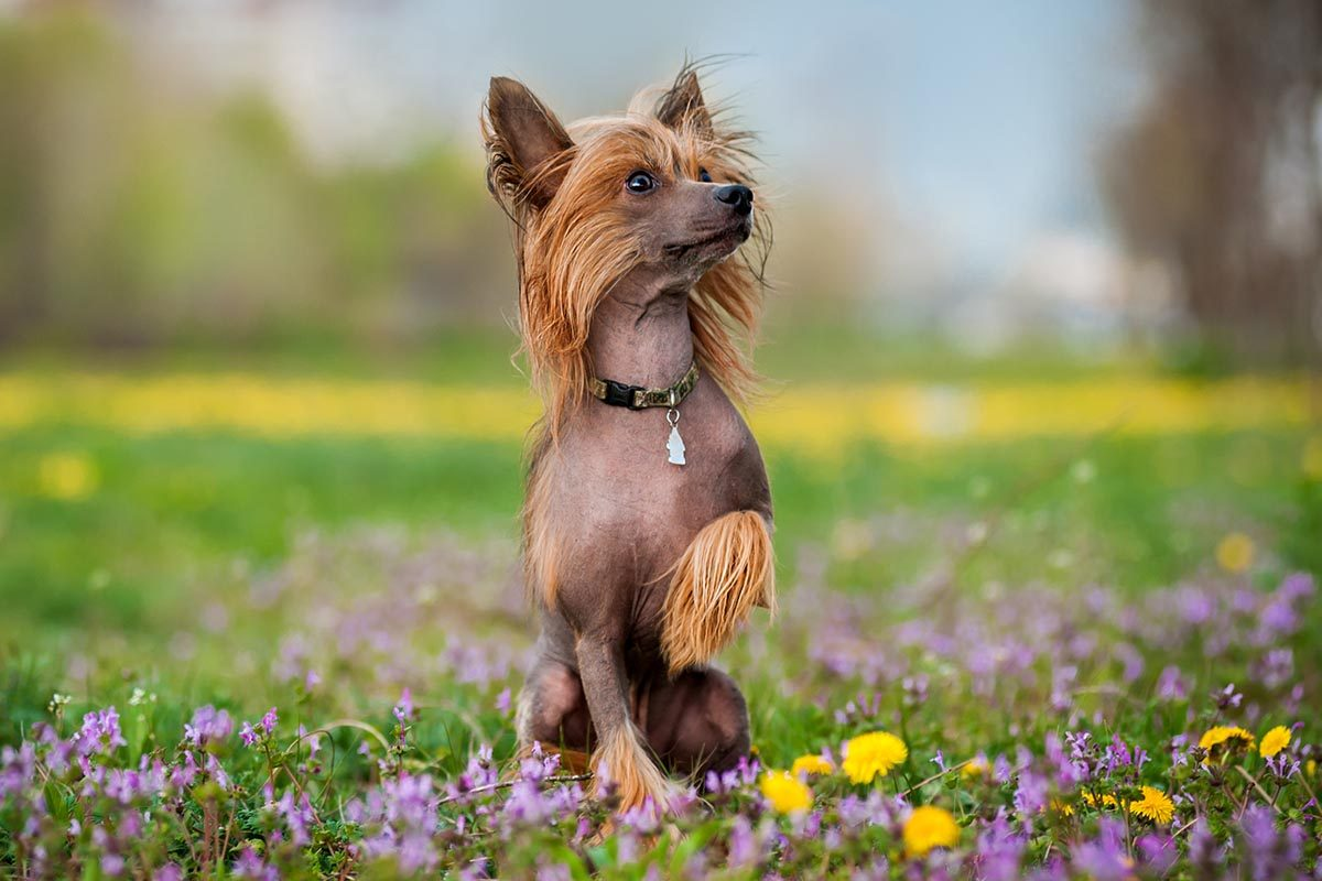 Race de chien bizarre : le chien Chinois à crête