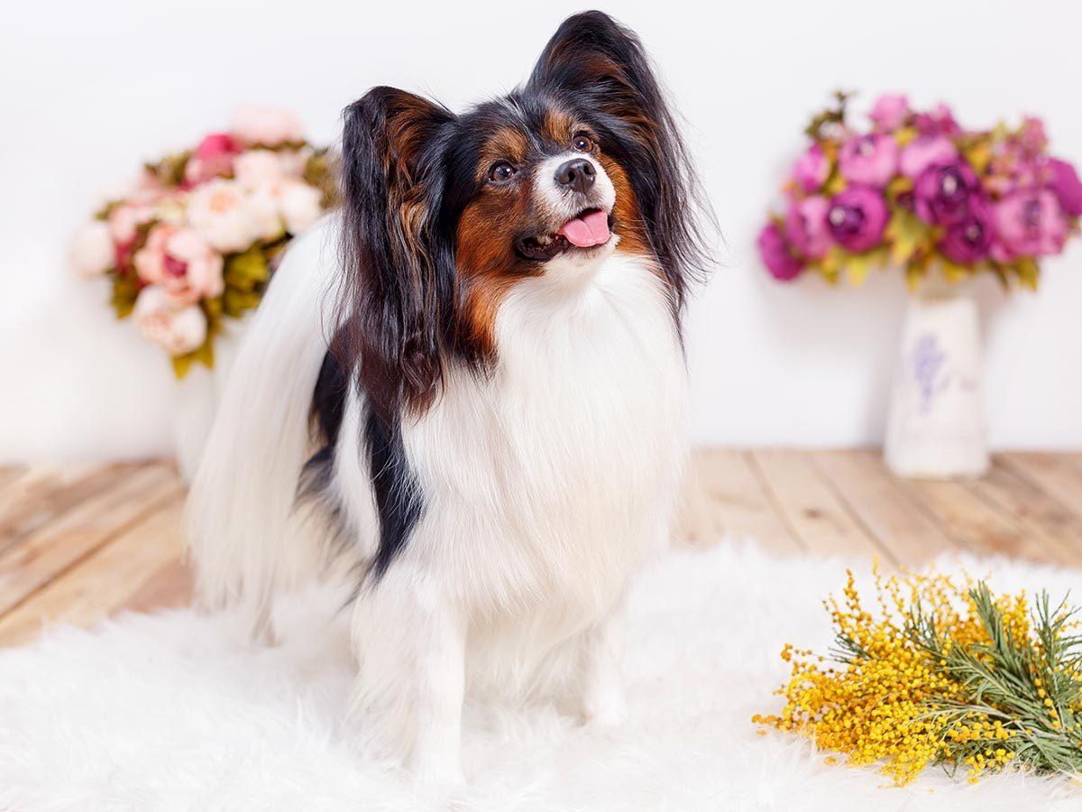 Race de chien bizarre : l'Épagneul Papillon