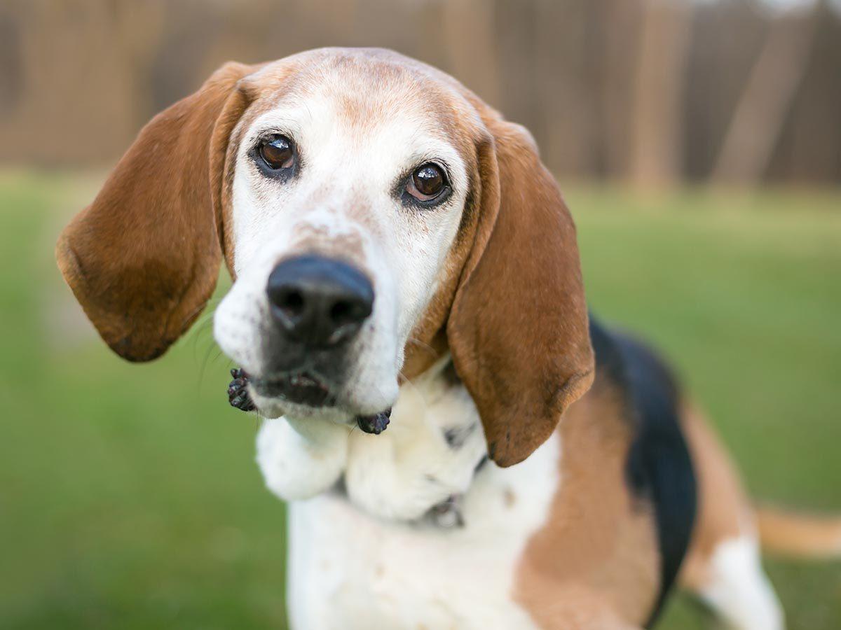 Race de chien bizarre : le Foxhound américain