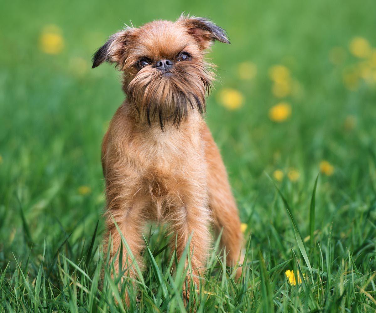 Race de chien bizarre : le Griffon Bruxellois