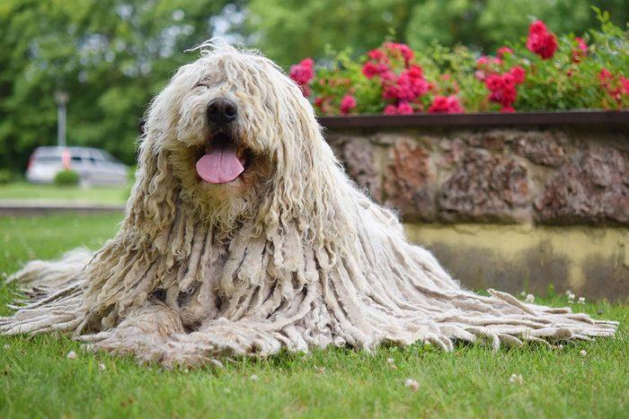 Race de chien bizarre : le Komondor