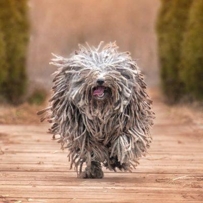 Race de chien bizarre : le Puli