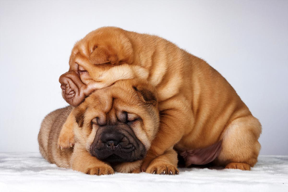 Race de chien bizarre : le Shar Pei