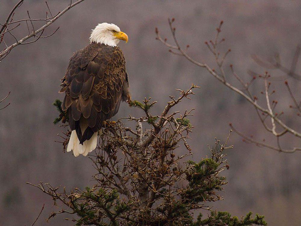 Admirez le vol des aigles à Victoria pour profiter de l'hiver au Canada.
