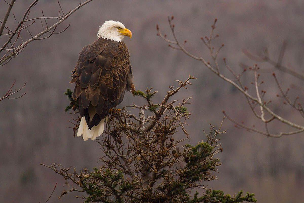 Hiver au Canada : admirez le vol des aigles à Victoria.