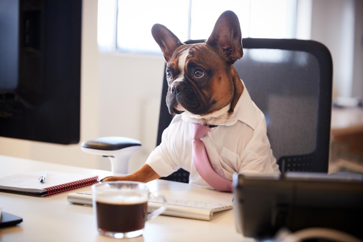 Photo de chien : molosse qui bosse.