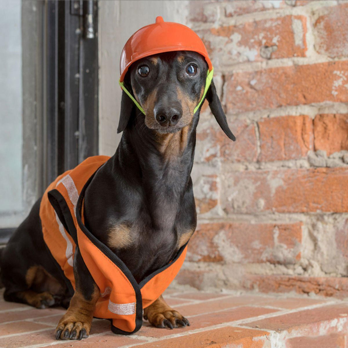 Dog picture: take this dachshund as is.
