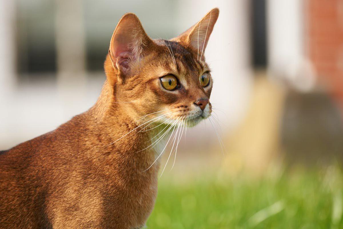 Races de chats affectueuses : l'Abyssin.