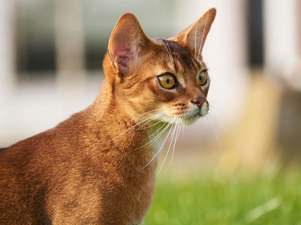 L'Abyssin est l'une des races de chats qui ont une personnalité amicale.