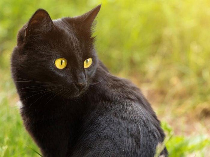 Le Bombay est l'une des races de chats qui ont une personnalité amicale.