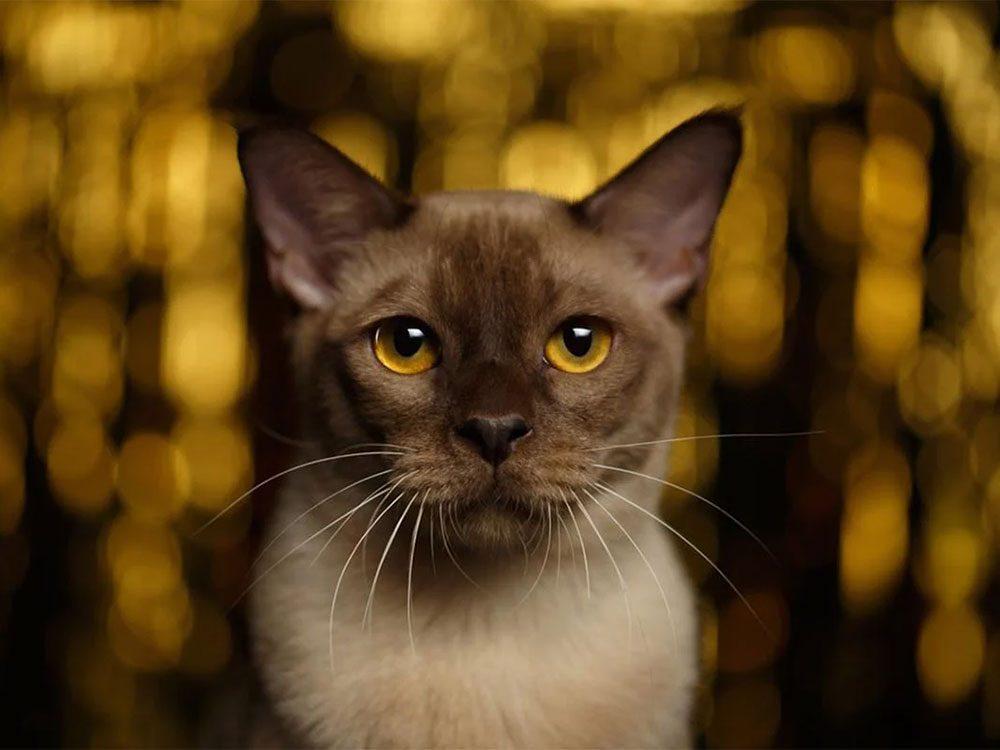 Le Burmese est l'une des races de chats qui ont une personnalité amicale.