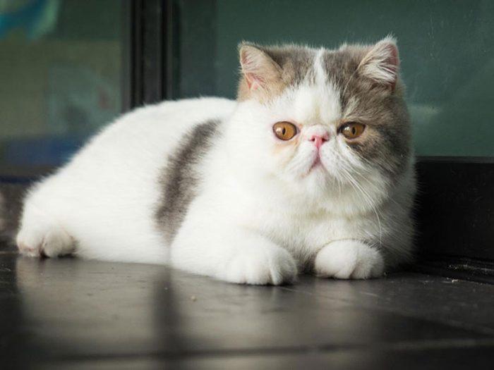 L'exotic shorthair est l'une des races de chats qui ont une personnalité amicale.