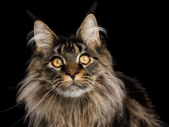 Le Maine coon est l'une des races de chats qui ont une personnalité amicale.