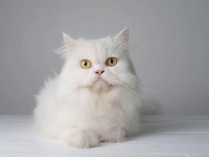 Le Persa est l'une des races de chats qui ont une personnalité amicale.