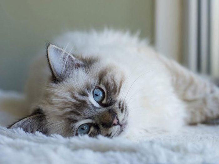 Le Ragdoll est l'une des races de chats qui ont une personnalité amicale.