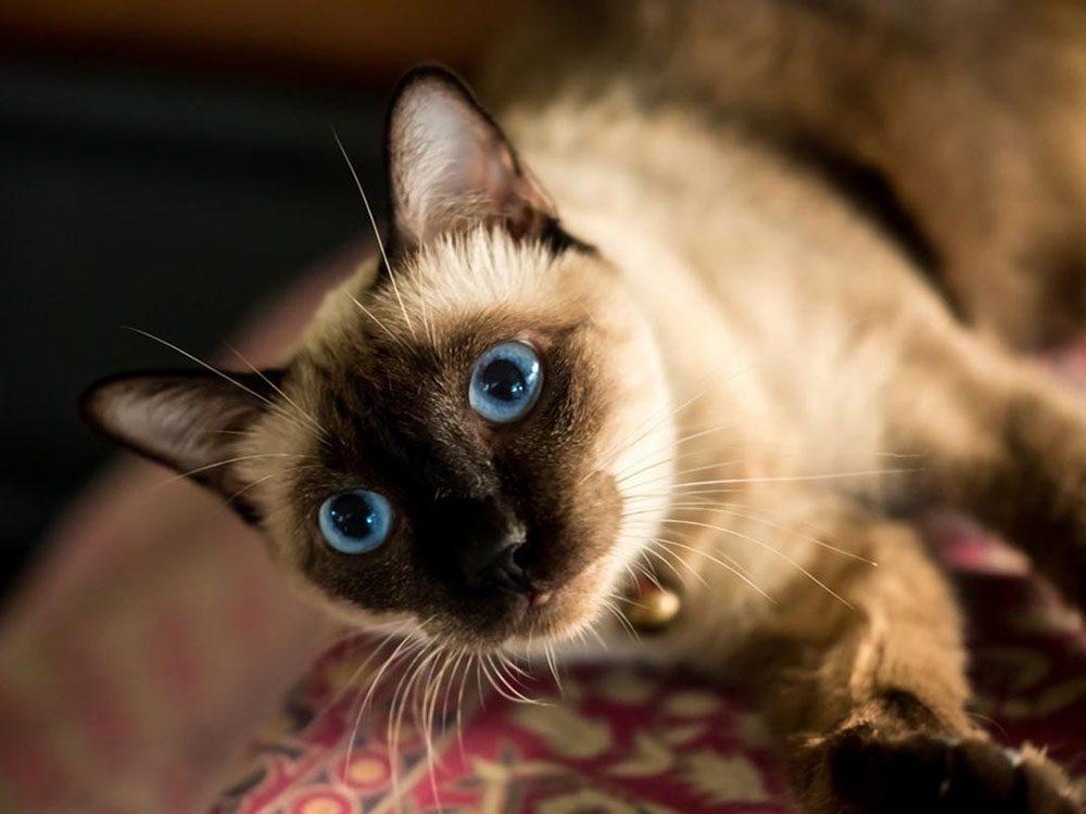 Le Siamois est l'une des races de chats qui ont une personnalité amicale.