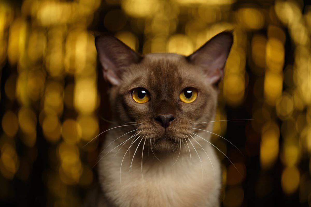 Races de chats affectueuses : le Burmese