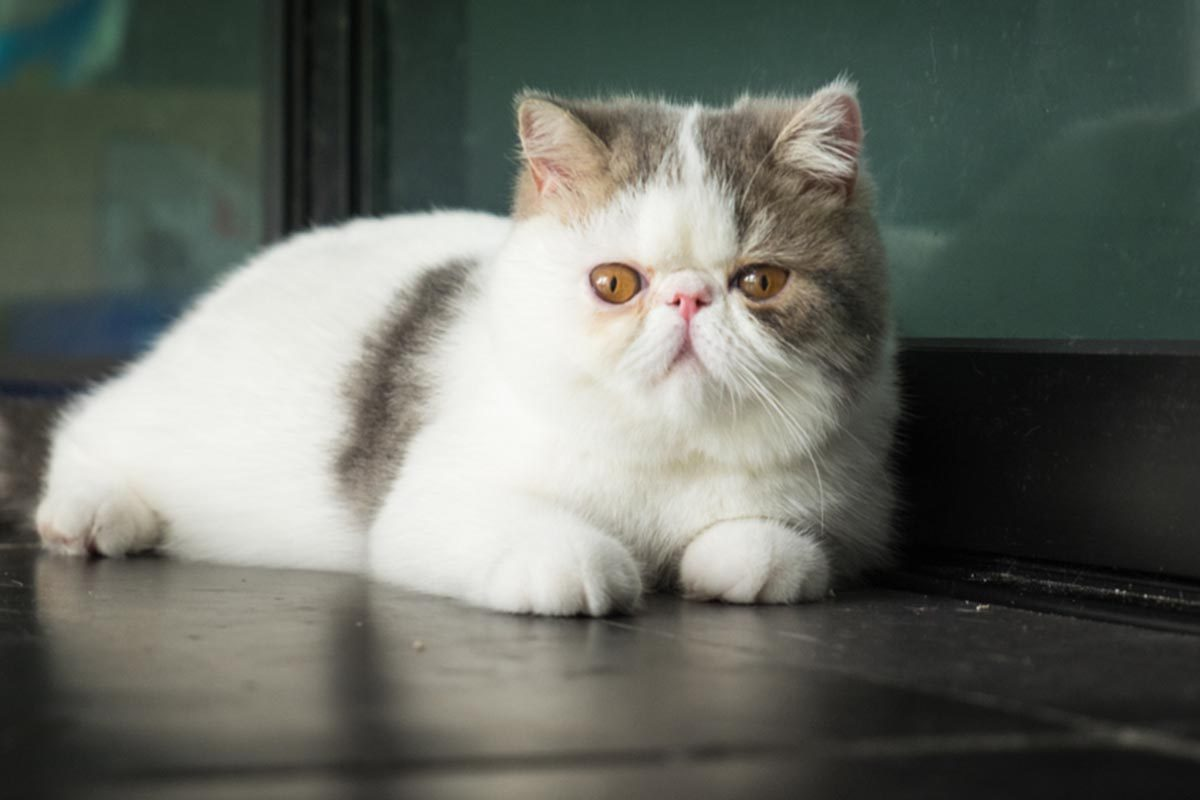 Races de chats affectueuses : l'Exotic Shorthair.