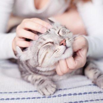 8 races de chats qui ont une personnalité amicale