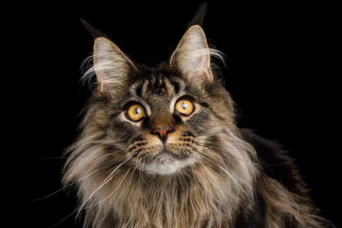 Races de chats affectueuses : le Maine Coon.