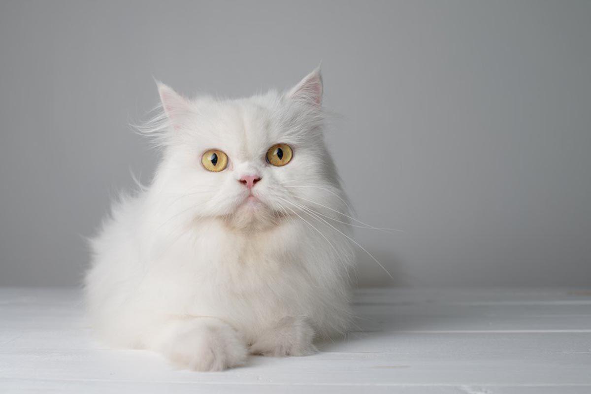 Races de chats affectueuses : le Persan.