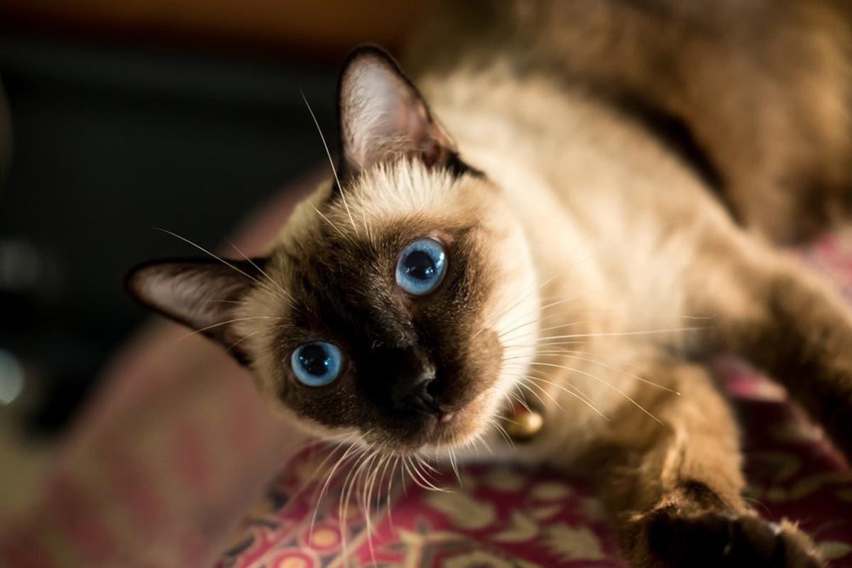 Races de chats affectueuses : le Siamois.