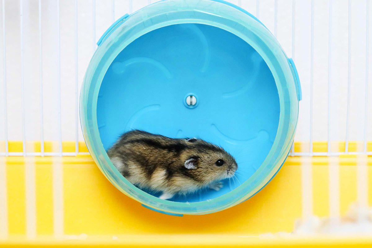 L'animalerie conseille de laisser un temps d'acclimatation au nouvel animal.
