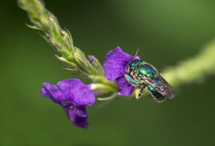 Animaux colorés : l'abeille à orchidées
