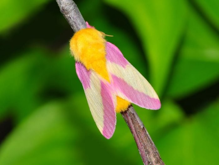 Animaux colorés : l'anisote de l'érable