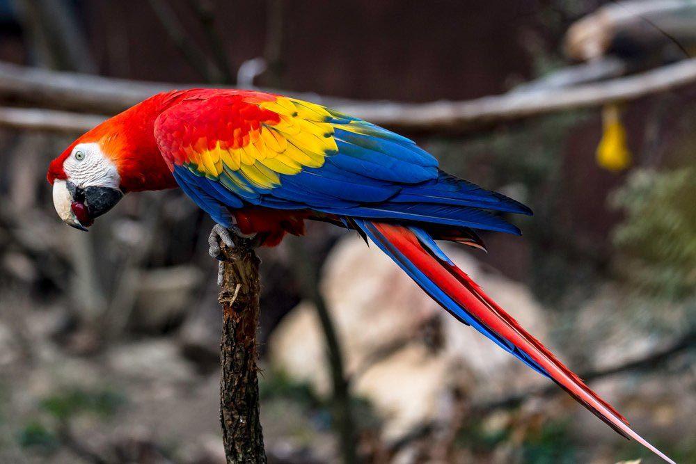 Animaux colorés : l'ara macao