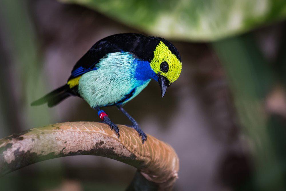 Animaux colorés : le calliste septicolore
