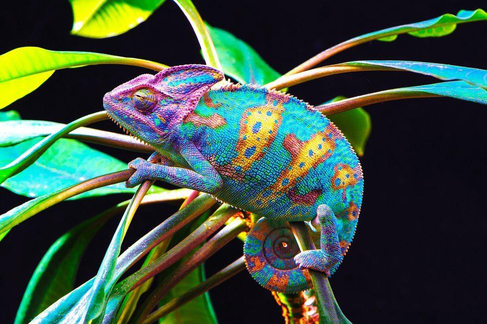 Animaux colorés : le caméléon du Yémen