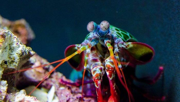 Animaux colorés : crevette-mante paon