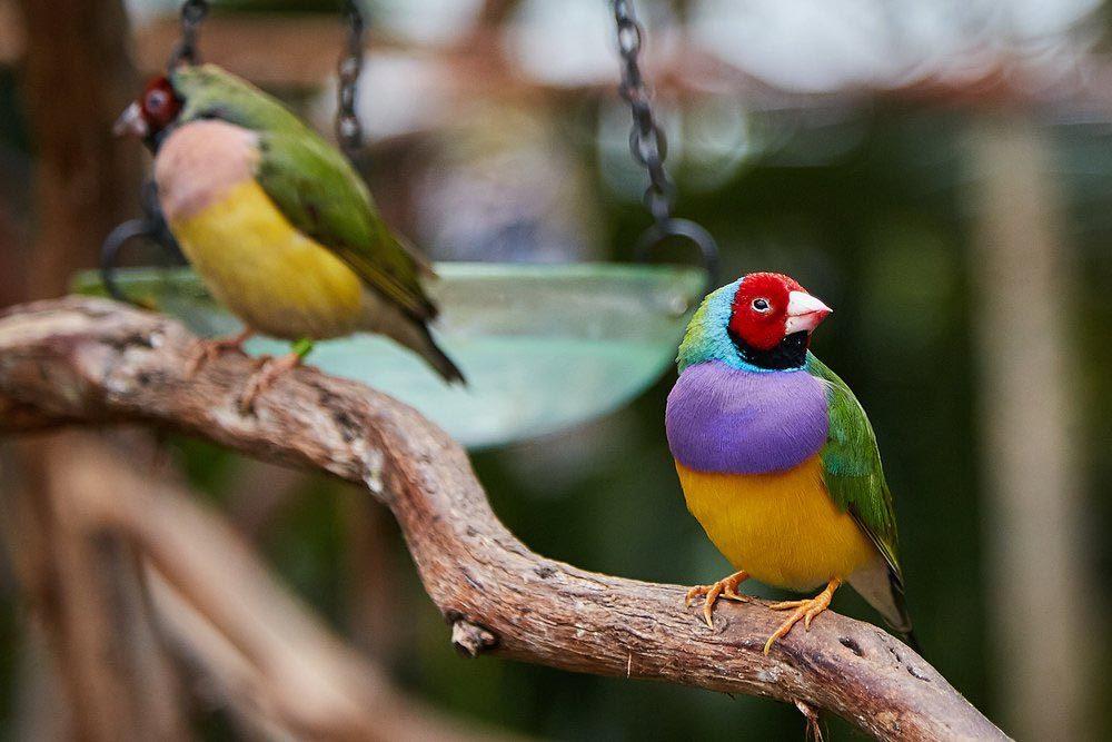 Animaux colorés : le diamant de Gould