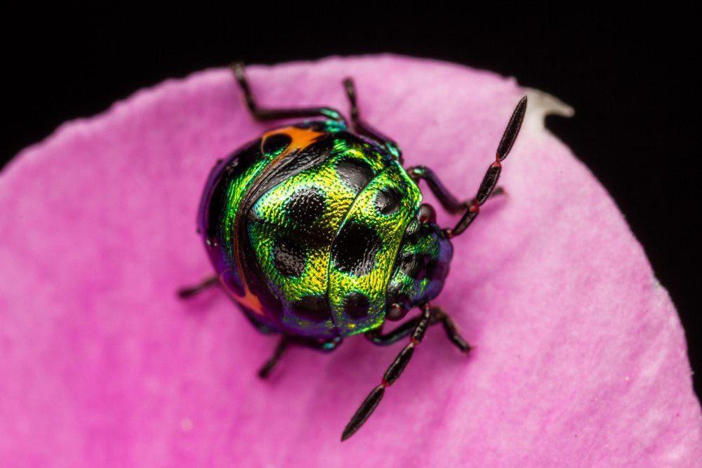 Animaux colorés : le e « jewel bug »