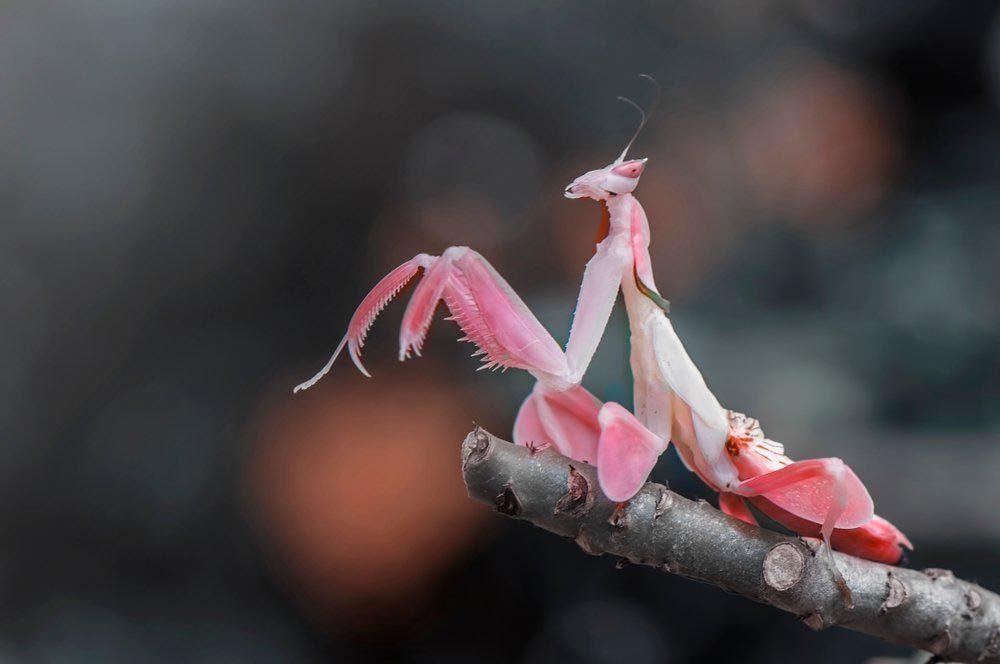 Animaux colorés : la mante orchidée rose