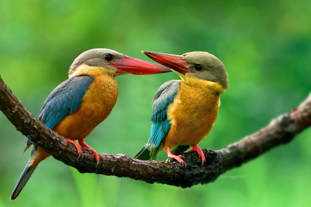 Animaux colorés : le martin-chasseur gurial