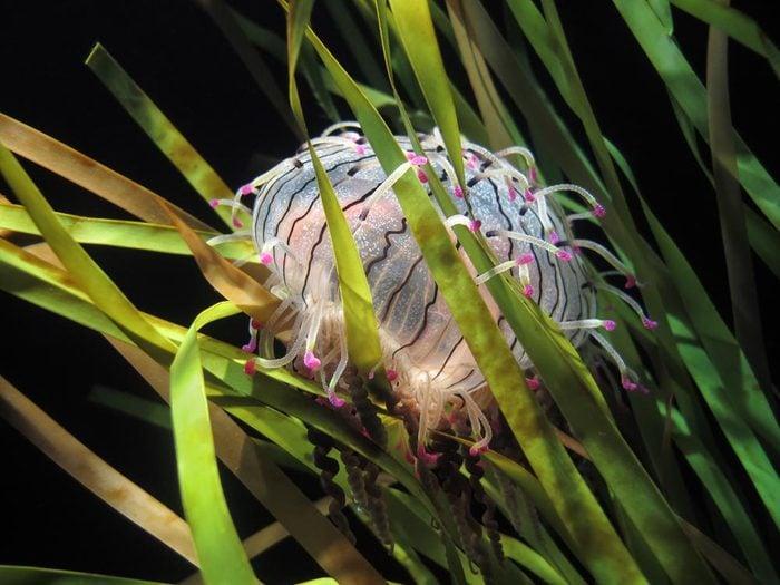 Animaux colorés : la méduse Olindia formosa