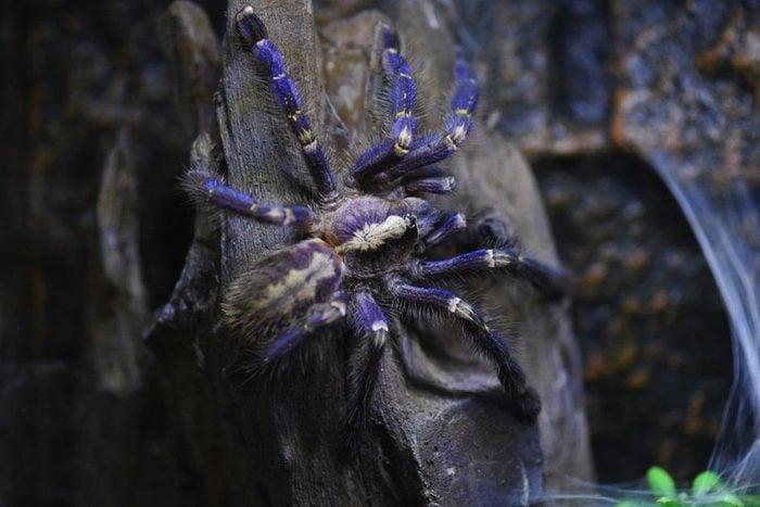 Animaux colorés : mygale ornementale de Gooty