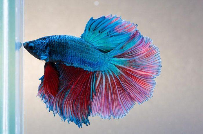 Animaux colorés : le poisson combattant