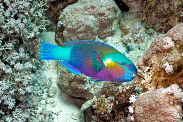 Animaux colorés : le poisson-perroquet
