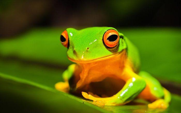 Animaux colorés : la rainette aux yeux rouges