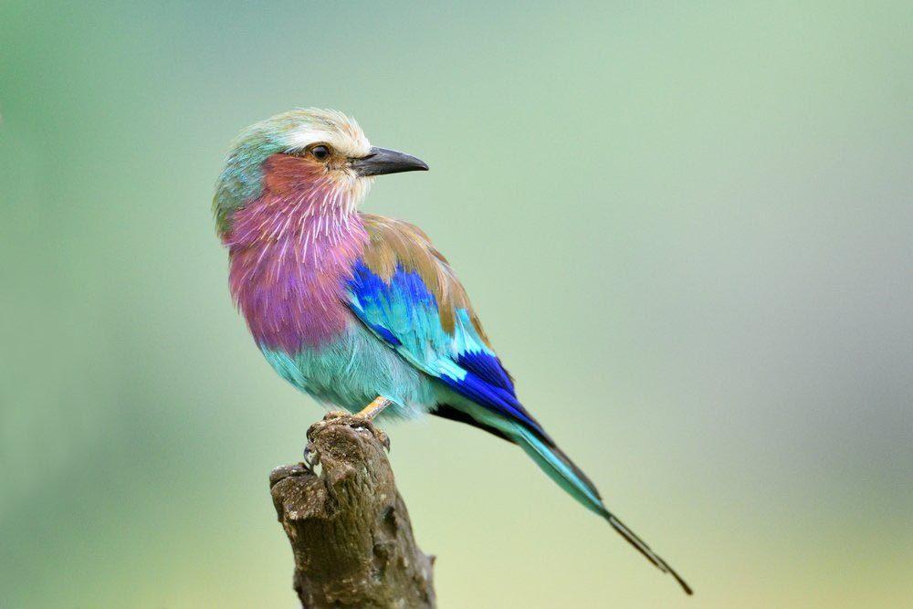 Animaux colorés : le rollier à longs brins