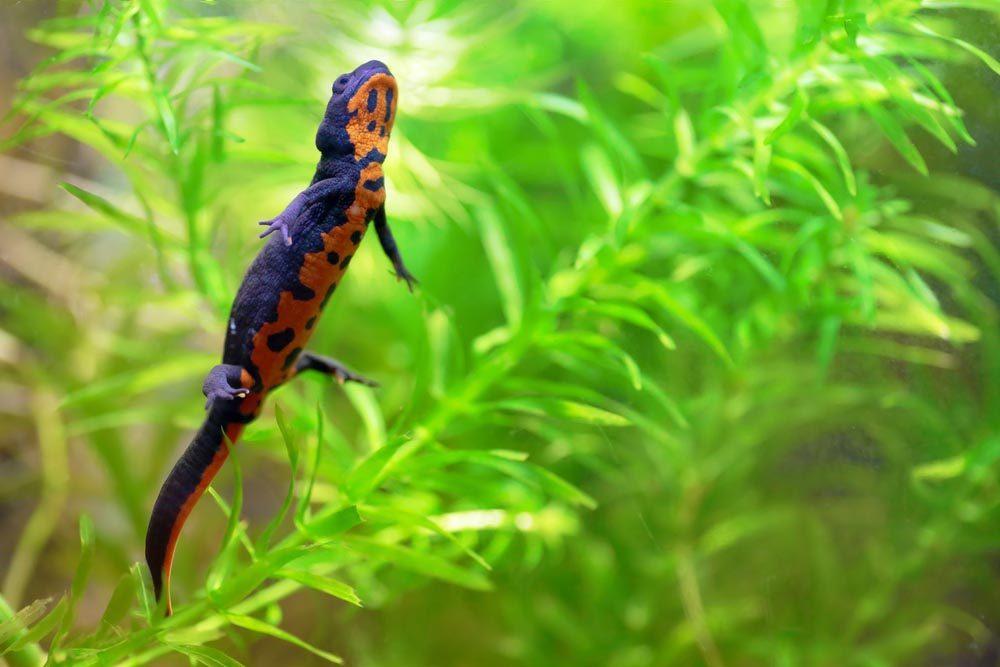 Animaux colorés : le triton à ventre de feu