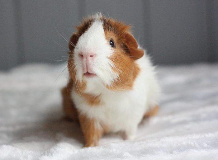 Animaux de compagnie : les cochon d'Inde sont porteur de bactéries.